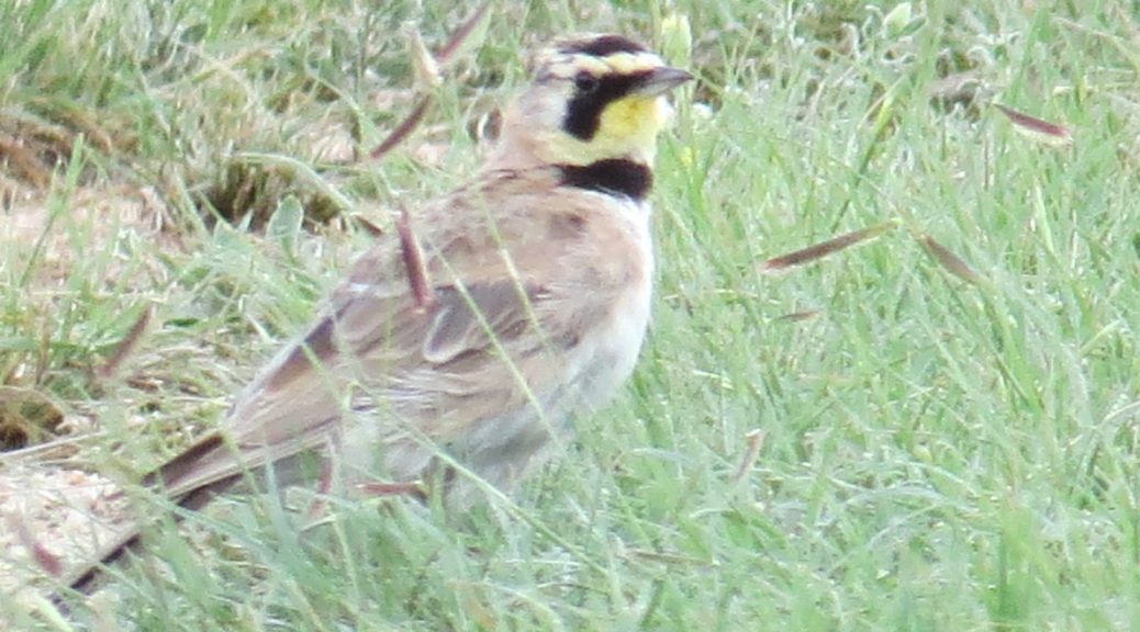 Horned Lark in Eastern Colorado