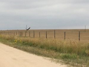 Buzzard attracted by plague-killed prairie dogs