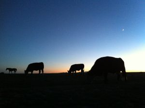 Cows silhouetted against the evening sky, The Other Colorado